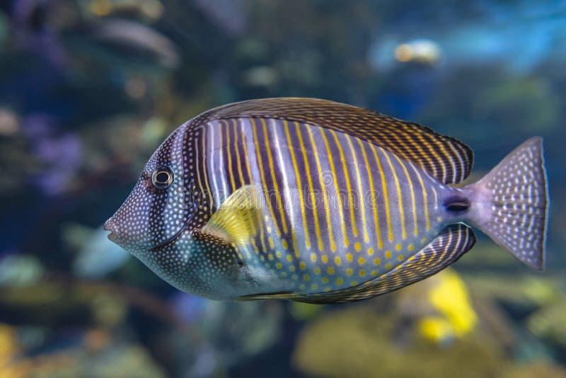 Close up of tropical Sailfin Tang fish, Zebrasoma veliferum stock photography