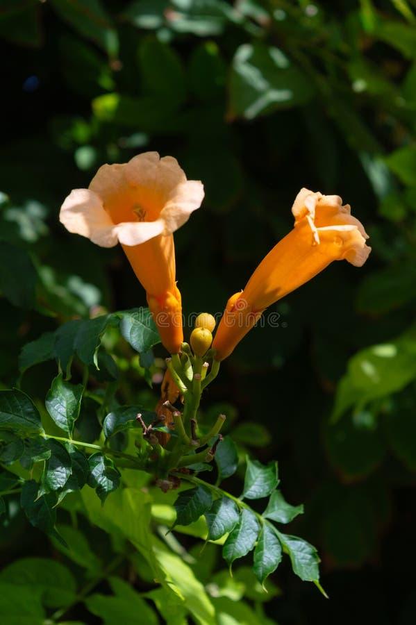 Close-up of Trumpet Vine Flowers, Hummingbird Vine, Campsis Radicans, Nature, Macro royalty free stock photos