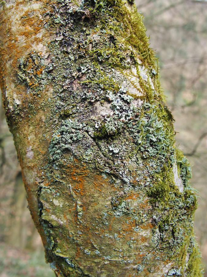 Close up of the trunk of a silver birch tree with cracked bark covered in different kinds off colorful lichens and mosses royalty free stock photos