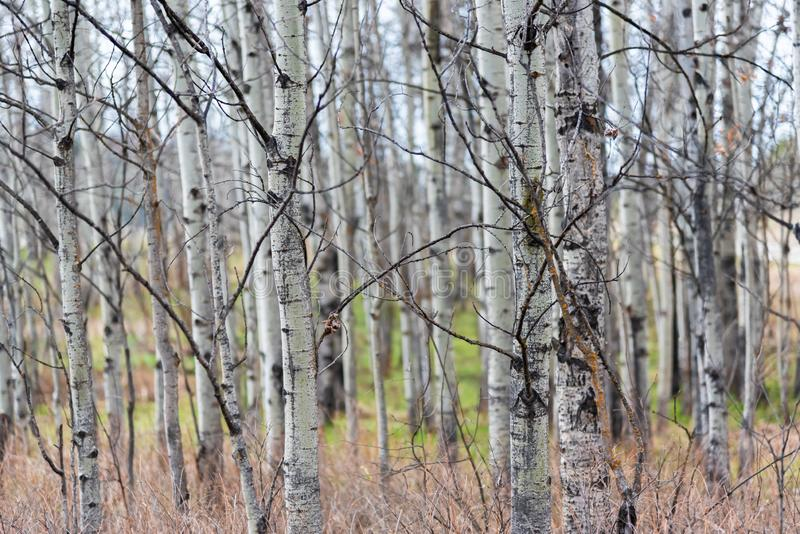 Close-up of trunks of forest of trembling aspen trees in early spring stock photos