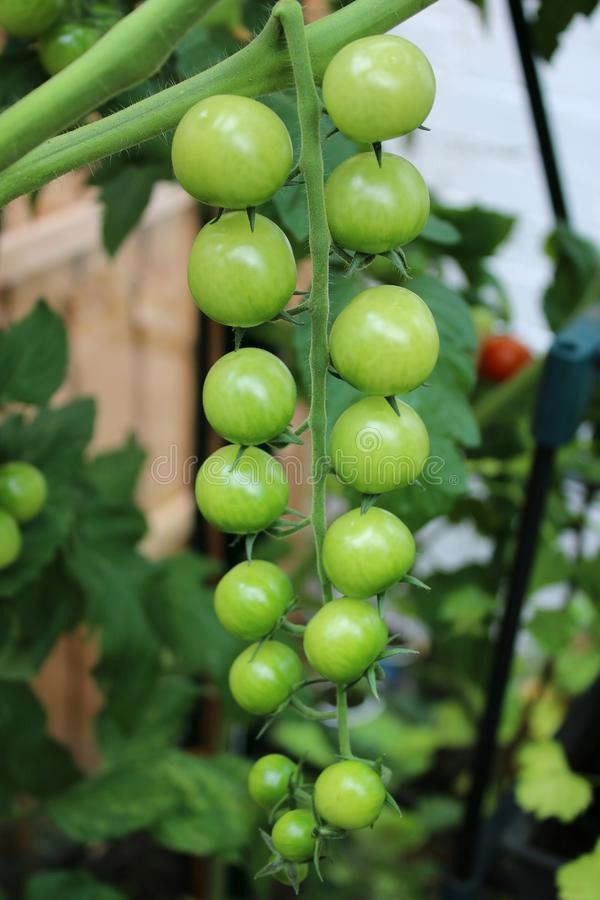 Truss of green tomatoes on a cherry tomato plant. Close up of a truss of green tomatoes on a cherry tomato plant that are about to start ripening royalty free stock photos
