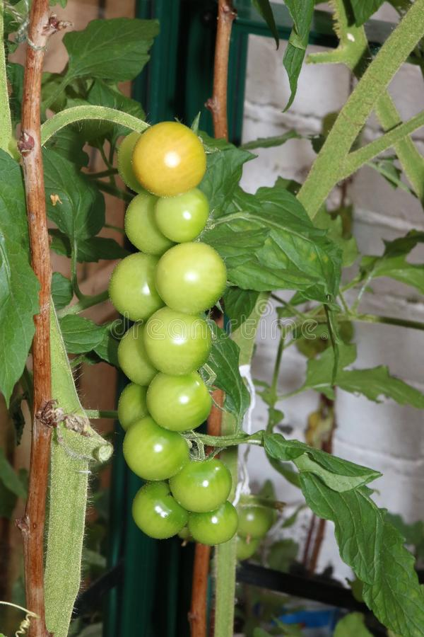 Ripening truss of cherry tomatoes. Close up of a truss of green tomatoes that are just starting to ripen on a cherry tomato plant stock images