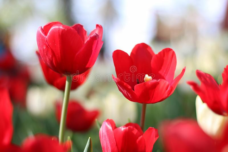 Close up of tulip flower shooting from a low angle in spring stock image