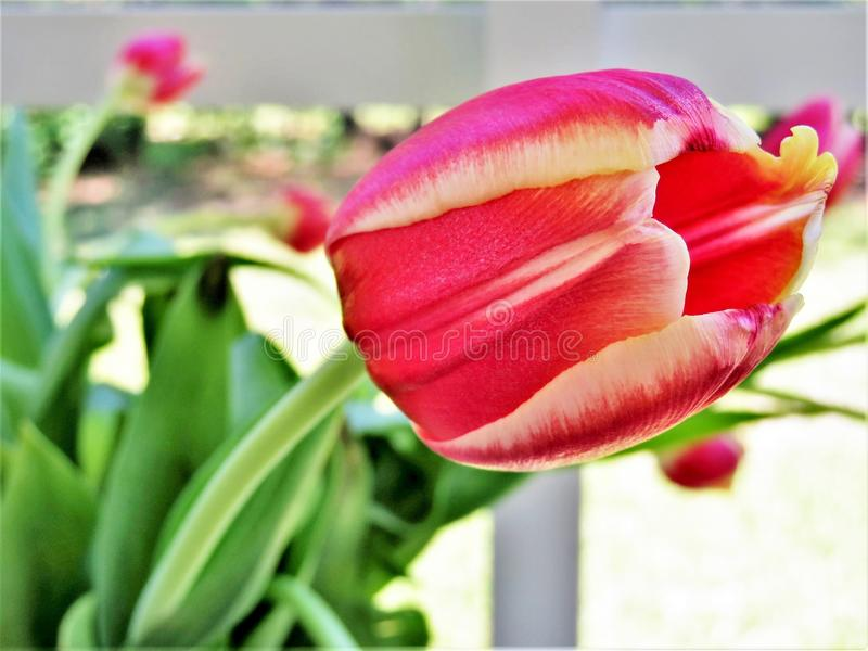 Close up of tulip flowers petals and stem stock photos