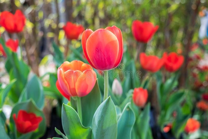 Close-up of tulips grown at dutch village. Close-up of red tulips grown at dutch village royalty free stock photos