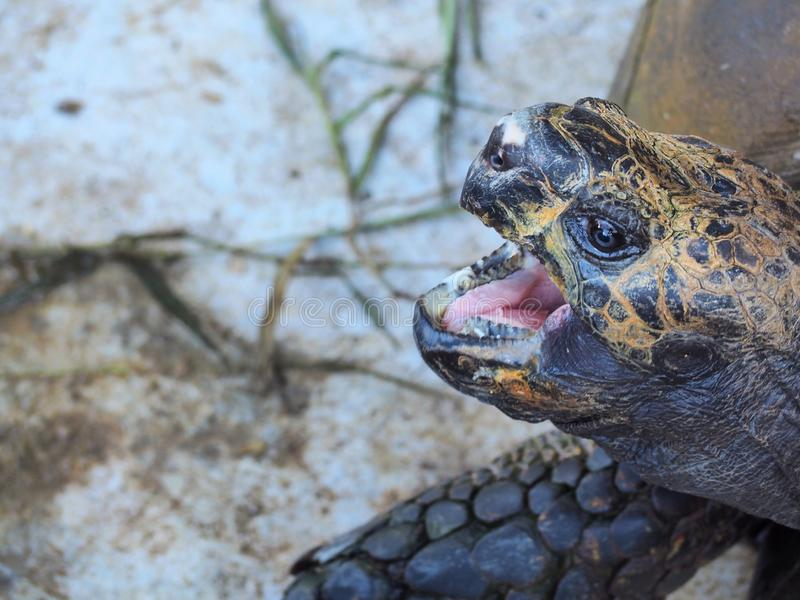 Close-up of a turtle`s head with open mouth longing for food or yelling at the intruder. Blurry background and bokeh to highlight the turtle royalty free stock photos