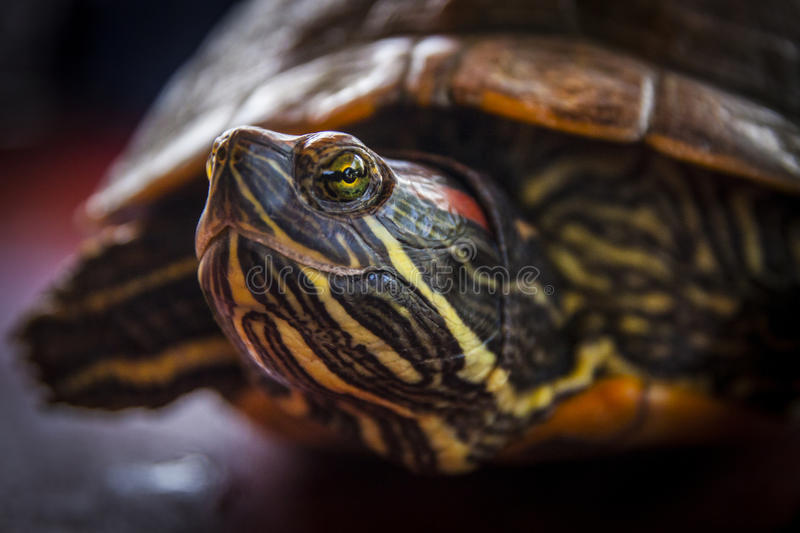 Close up of a turtle stock photo