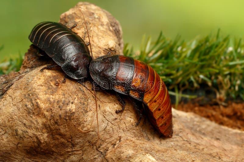 Close-up twee grote het gesiskakkerlakken van Madagascar op de winkelhaak op groene achtergrond stock foto