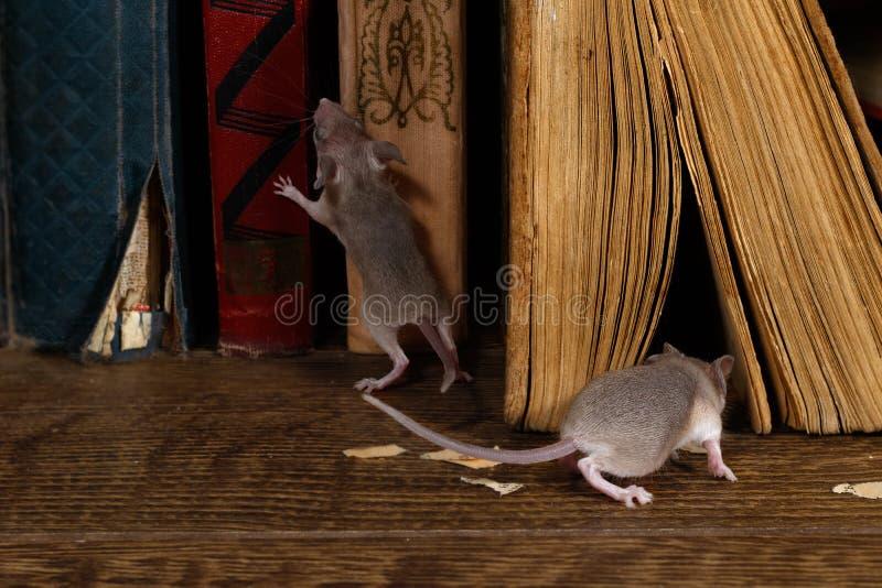 Close-up twee jonge muizen op de oude boeken op de vloer in de bibliotheek royalty-vrije stock afbeelding