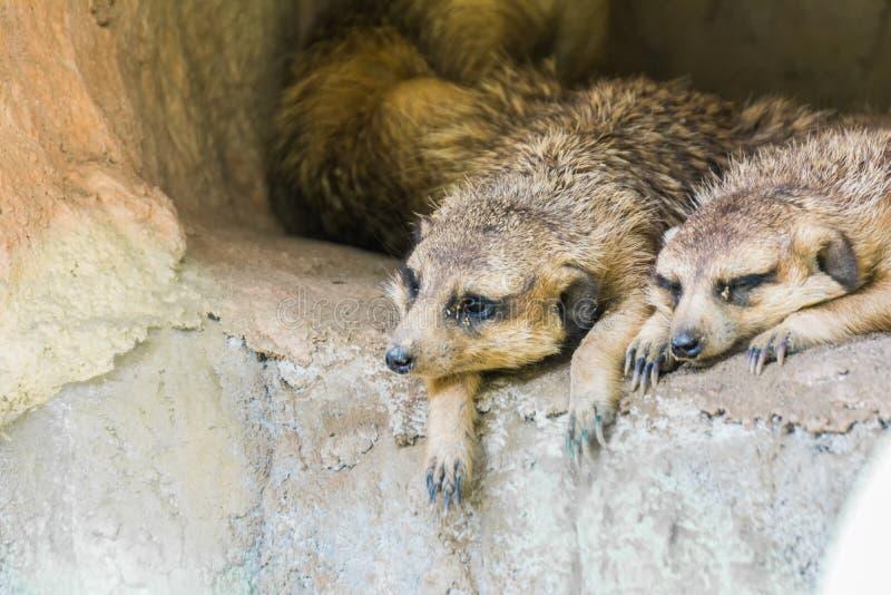 Close-up twee Meerkat stock afbeelding