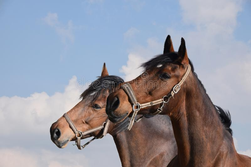 Close-up of two adult brown horses. Stallions. stock images