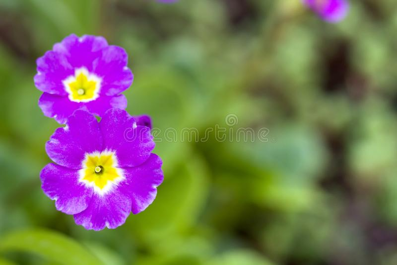 Close-up of two beautiful fresh field flowers with tender bright violet petals and yellow heart blooming on blurred background of stock images