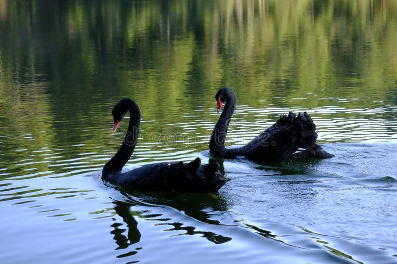 Close-up Two black swans swimming in green water. Love couple of black swans. Beautiful wildlife concept. royalty free stock photos