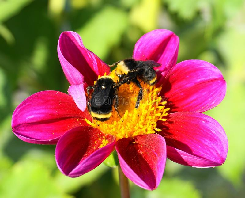 Two Bumblebees on a showy Dahlia flower. Close up two Bumblebees on a showy Dahlia flower head against green background royalty free stock photo