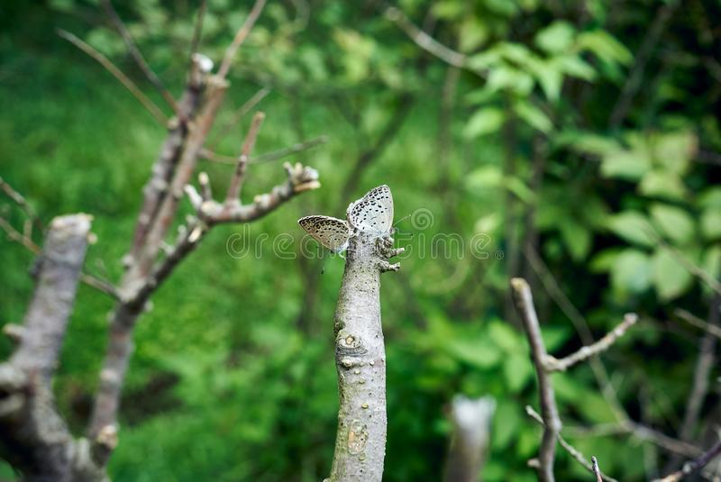 Close-up of two butterflies mating on a branch at the forest in Dongbaek Island in Busan, South Korea stock photos