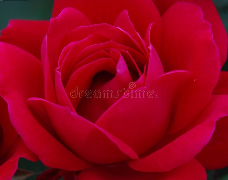 Close up of single deep red, lushness rose stock images