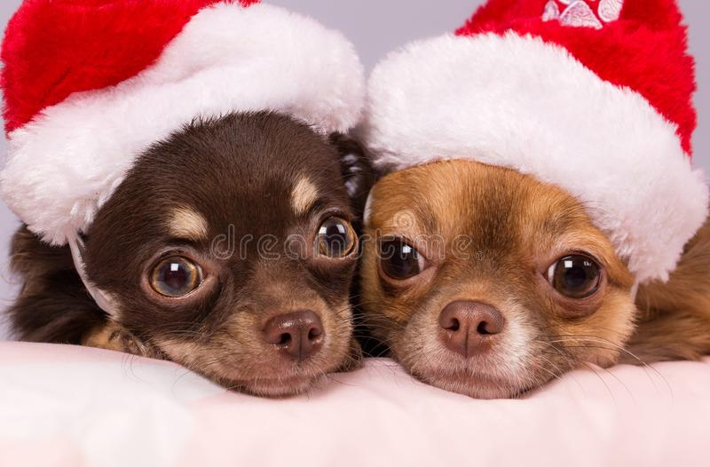 Close up of two different coloured dark brown and light brown Chihuahua with Santa hat resting. Close up of two different coloured dark brown and light brown stock images