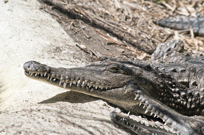 Fresh water crocodile. This is a close up of two Fresh water crocodile stock photos