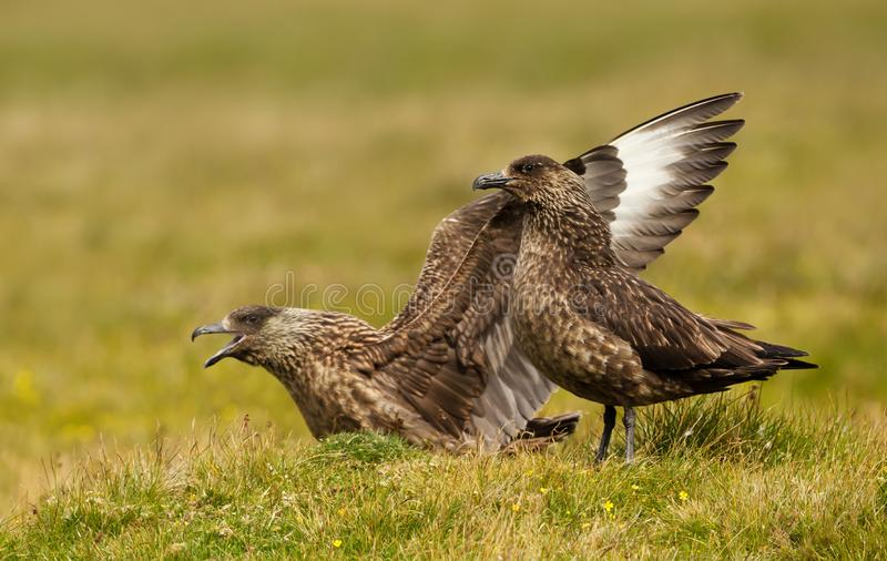 Close up of two Great Skuas royalty free stock image