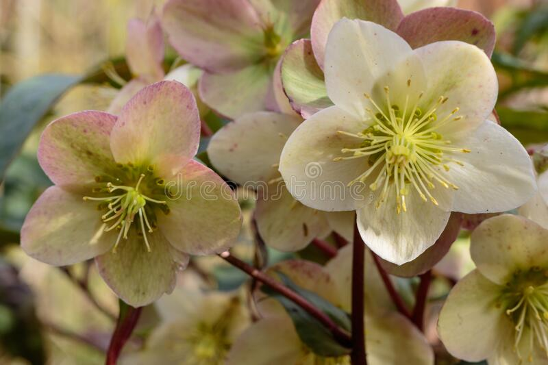Close up of two helleborus niger. Front view photo of these two helleborus niger, black hellebore flowers. Beautiful flowering in the winter stock photo