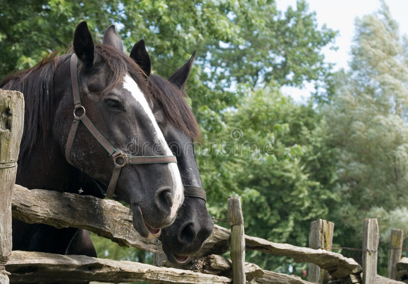 Close-up Of two Horses stock photos
