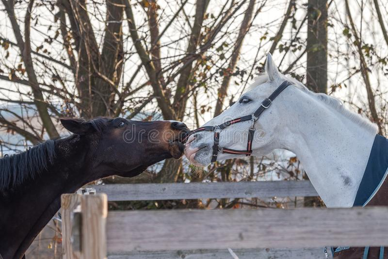 Close-up of two horses playing stock photo