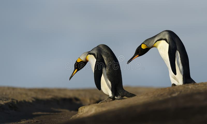 Close up of two King penguins trying to cross a ditch. Close up of two King penguins Aptenodytes patagonicus trying to cross a ditch, Falkland Islands royalty free stock photo
