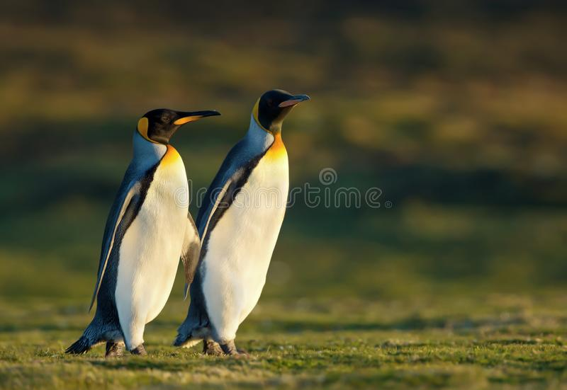 Close up of two King penguins walking on grass royalty free stock photo