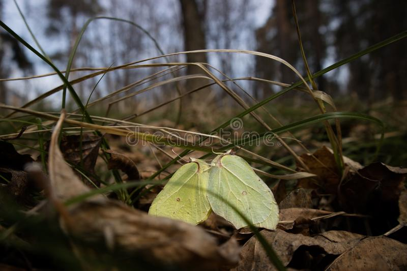 Close-up of two mating brimstone butterflies Gonepteryx rhamni. Sitting on grass, surrounded by dry leaves. Nice sunny spring day. Selective focus. Low contrast royalty free stock photo