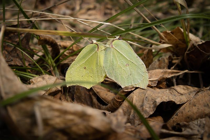 Closeup of two mating brimstone butterflies. Close-up of two mating brimstone butterflies Gonepteryx rhamni sitting on grass, surrounded by dry leaves. Nice stock image