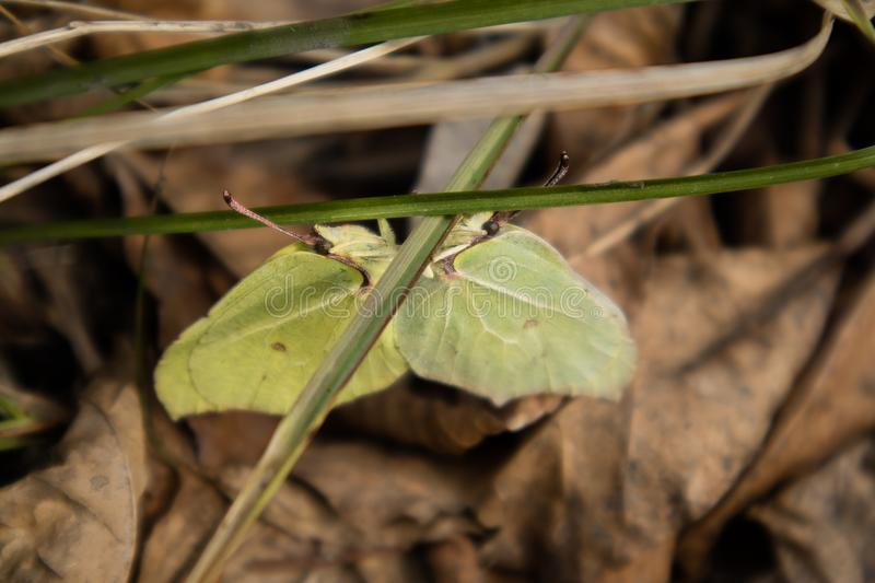 Close-up of two mating brimstone butterflies Gonepteryx rhamni. Sitting on grass, surrounded by dry leaves. Nice sunny spring day. Selective focus. Low contrast stock photos