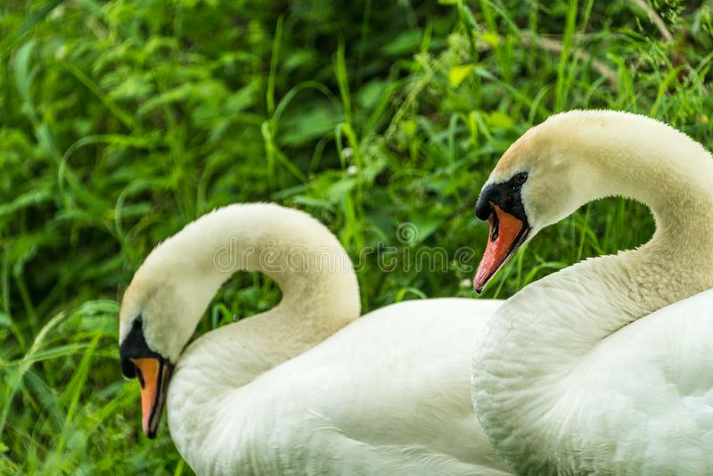 Close up of two Mute Swans Signus olor stock photography
