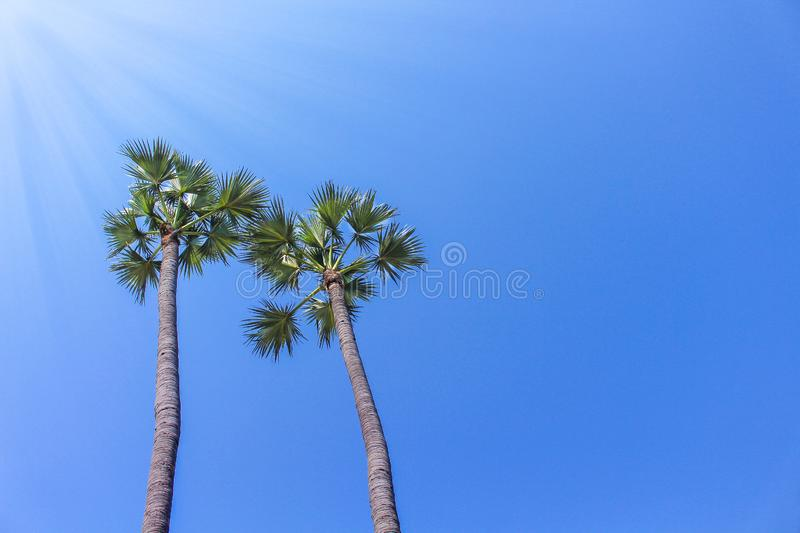 Two nature palm trees on bright blue sky background stock photos