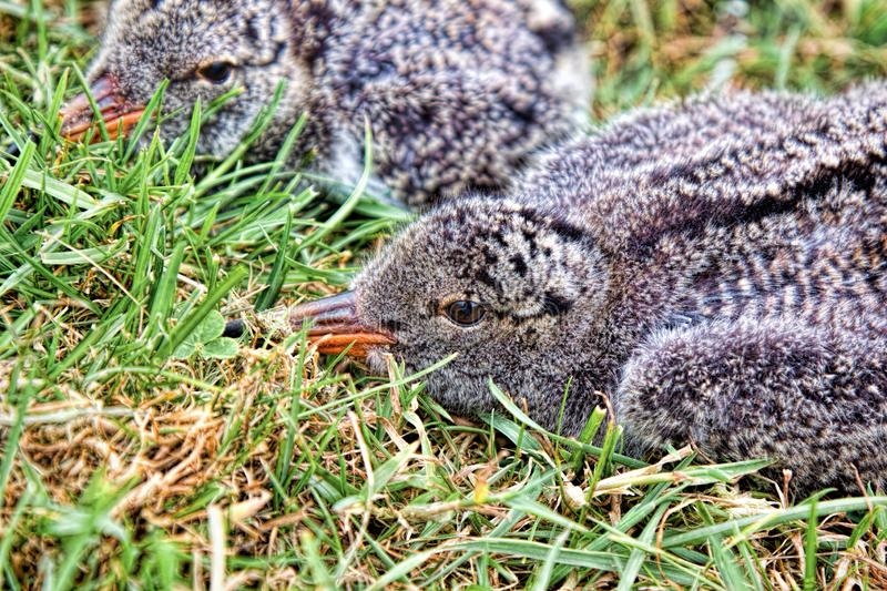 Two oyster catcher chicks in grass. Close up of two oyster catcher chicks lying together in grass royalty free stock photography