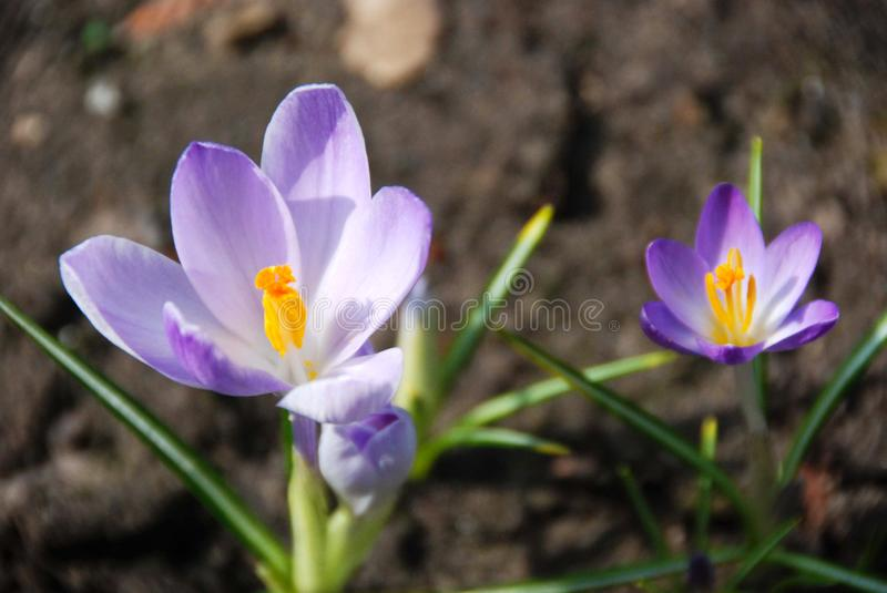 Two purple blue crocus flowers stock photography