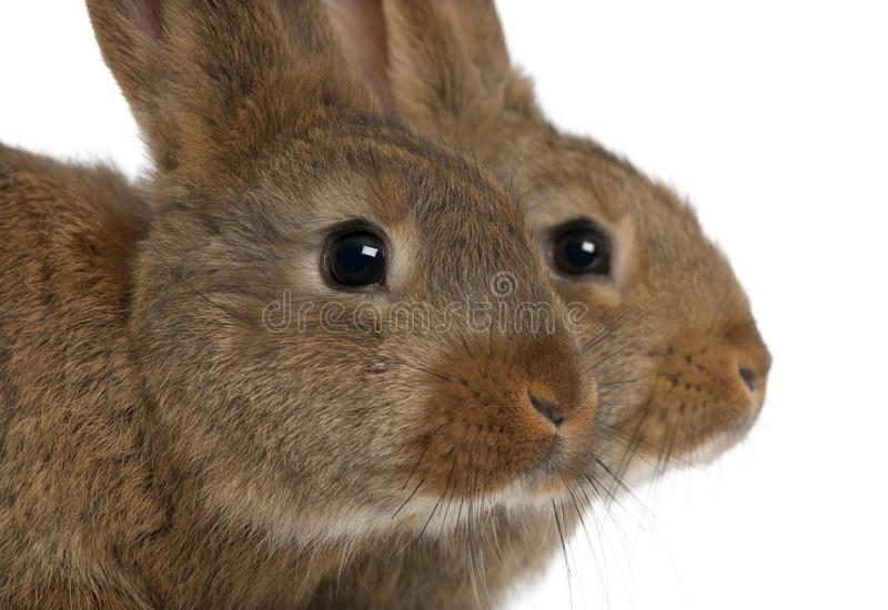 Close-up of two rabbits head against white background stock photography