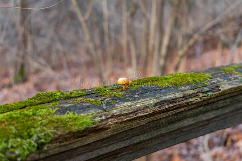 Close up of Two Small Mushrooms on a Mossy Fence in a Forest during Winter stock photography