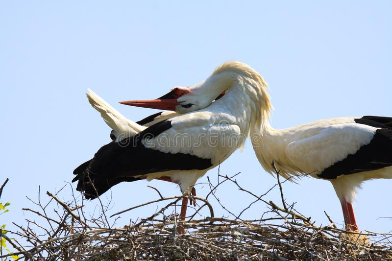 Close up of two storks Ciconia Ciconia in a nest on a tree against blue sky. stock photos