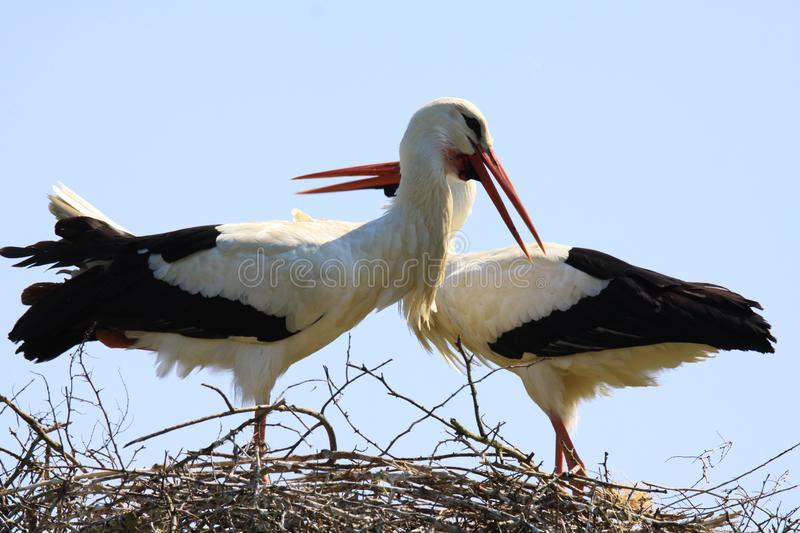 Close up of two storks in a nest on a tree with crossed necks royalty free stock photography