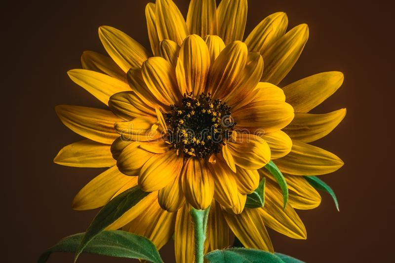 Close-up of two sunflowers, small one in front of large one royalty free stock images