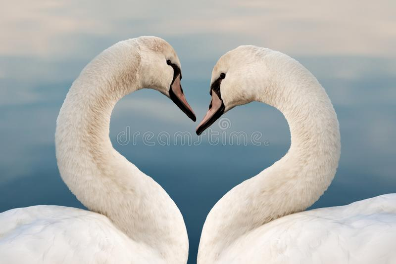 Close up of two swans in the shape of a heart. Love concept valentine greeting card stock image