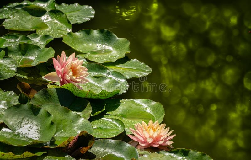 Close-up of two water lilies or lotus flowers Perrys Orange Sunset with spotty leaves in garden pond. Magic atmosphere of nympheas. Natural pond landscape with royalty free stock images
