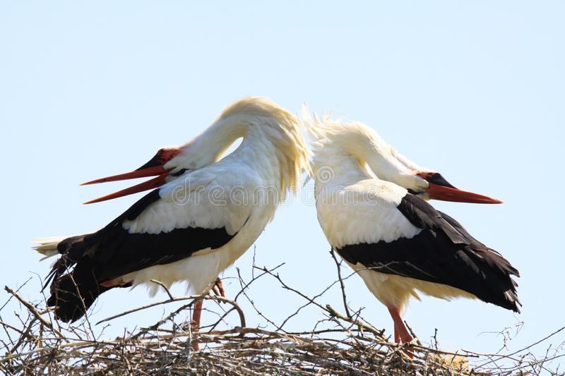 Close up of two white storks Ciconia Ciconia in a nest on a tree against blue sky. stock image
