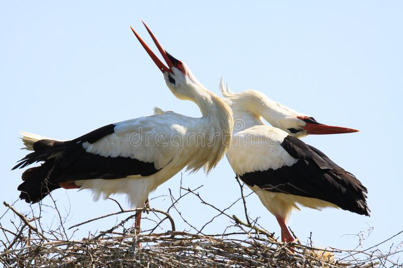 Close up of two white storks Ciconia Ciconia in a nest on a tree against blue sky. stock images
