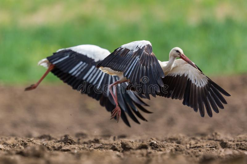 Close-up two white storks ciconia ciconia taking-off royalty free stock photography