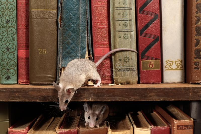 Close-up two young mice on  the old books on the shelf in the library. stock photography