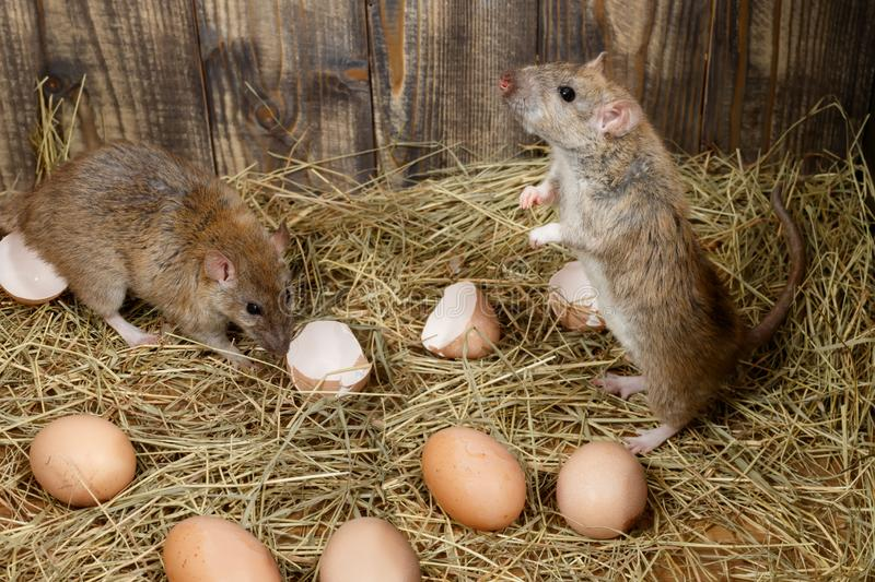 Close-up two young rats  in the chicken coop  near hens eggs. royalty free stock photo