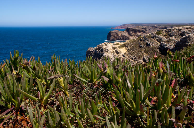 Close-up of the typical atlantic flora. On coastline of Sao Vicente, Algarve, Portugal stock photos