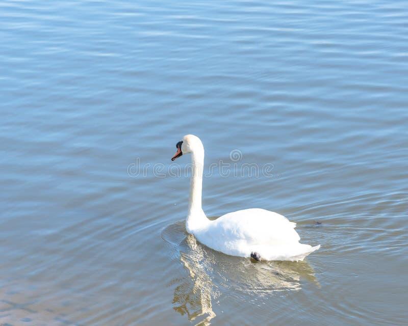 Close-up uma grande natação da cisne muda no parque urbano em Carrollton, fotos de stock royalty free