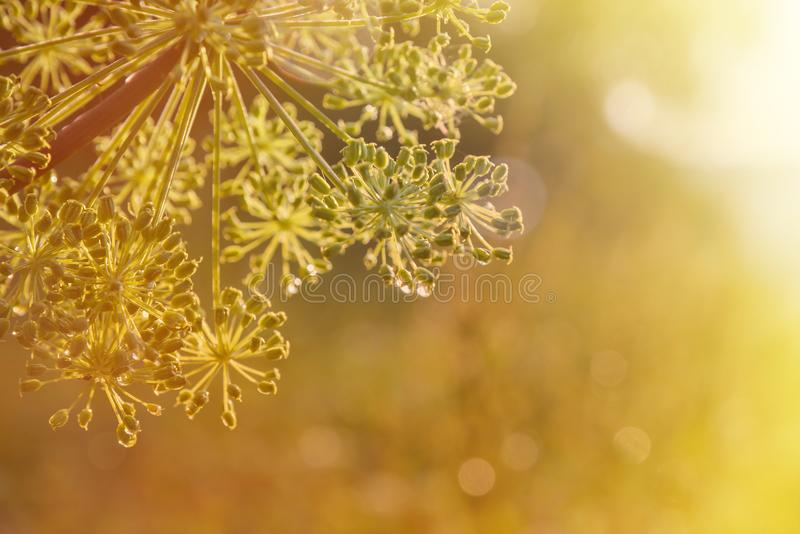 Close-up of an umbel of garden angelica. angelica flower. royalty free stock images